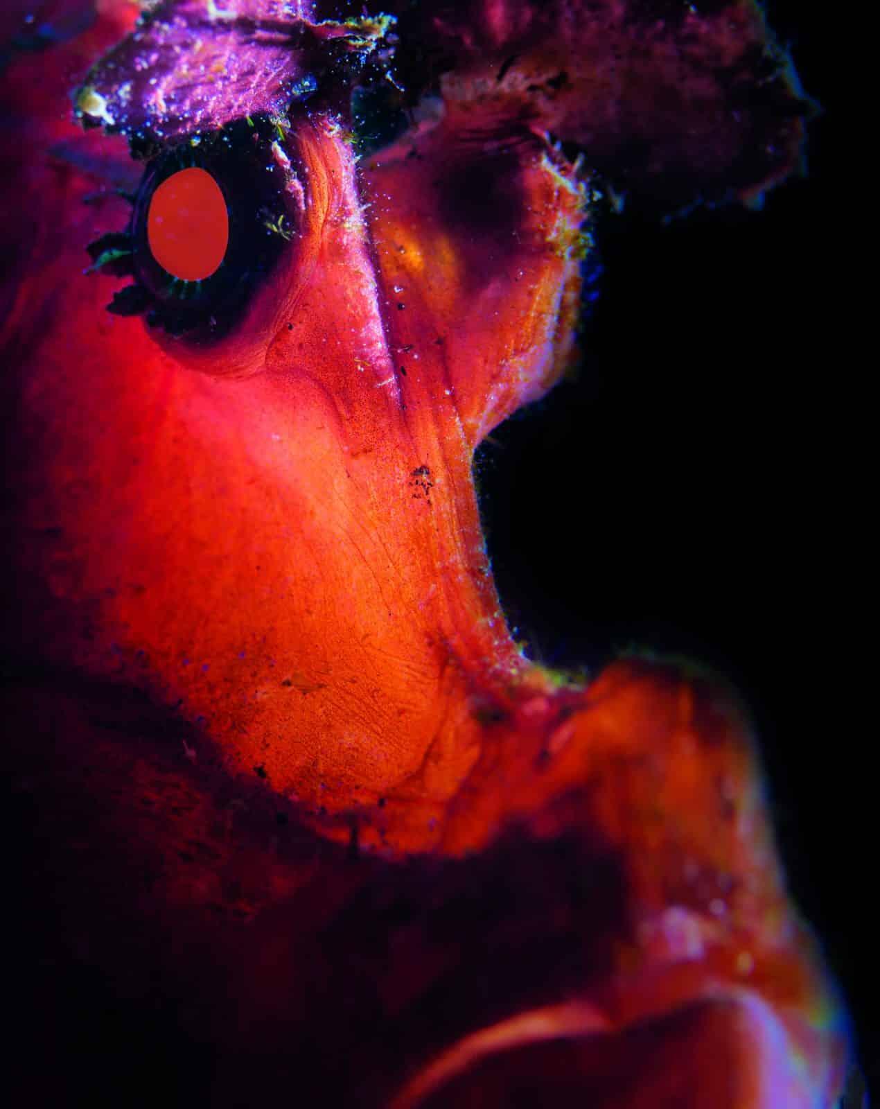 Rhinopias Portrait