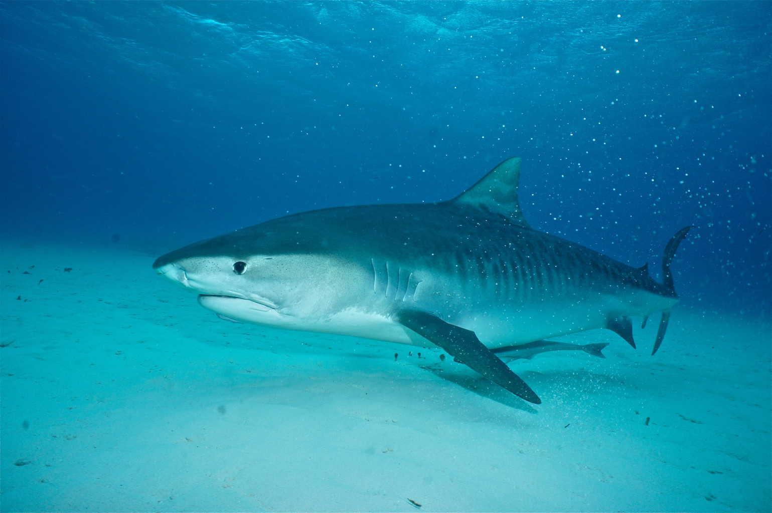 tiger sharks 1