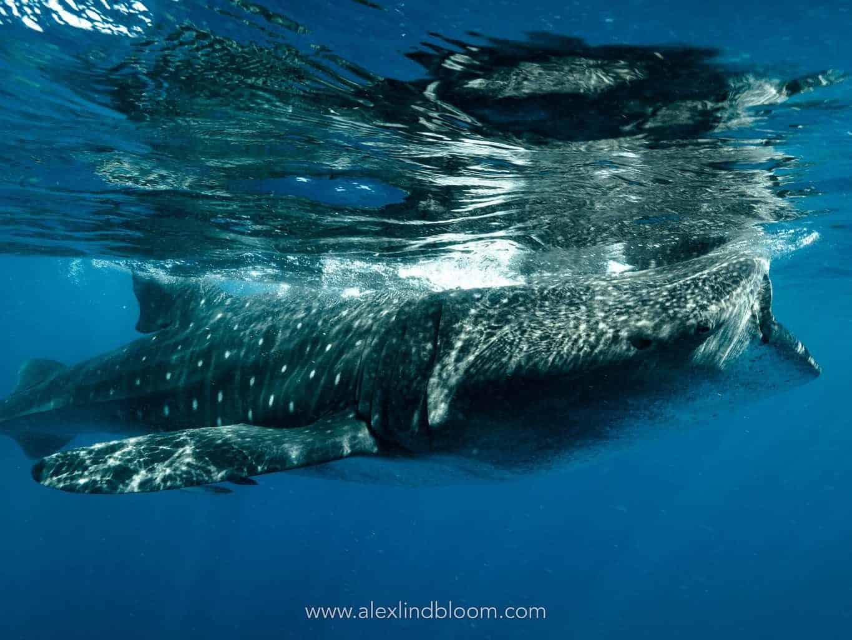 whale sharks 1