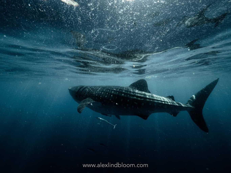 whale sharks 2
