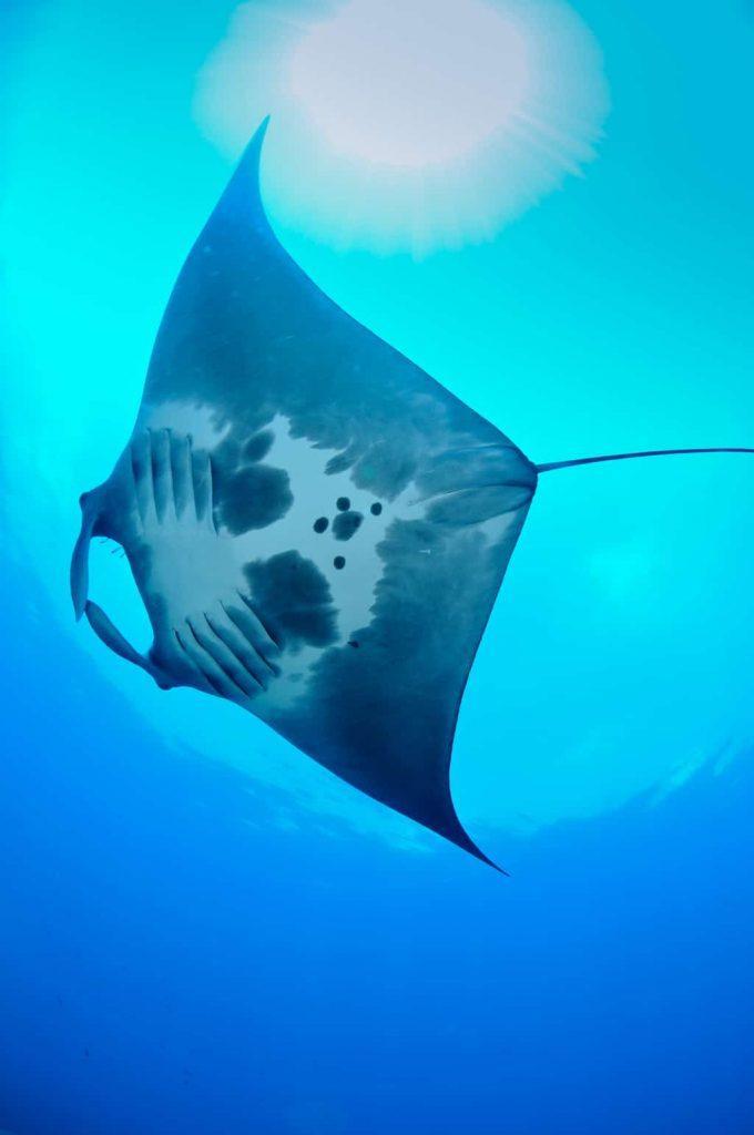 manta ray 1