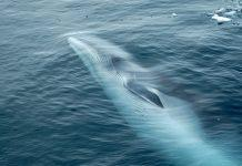 South Atlantic whale sanctuary
