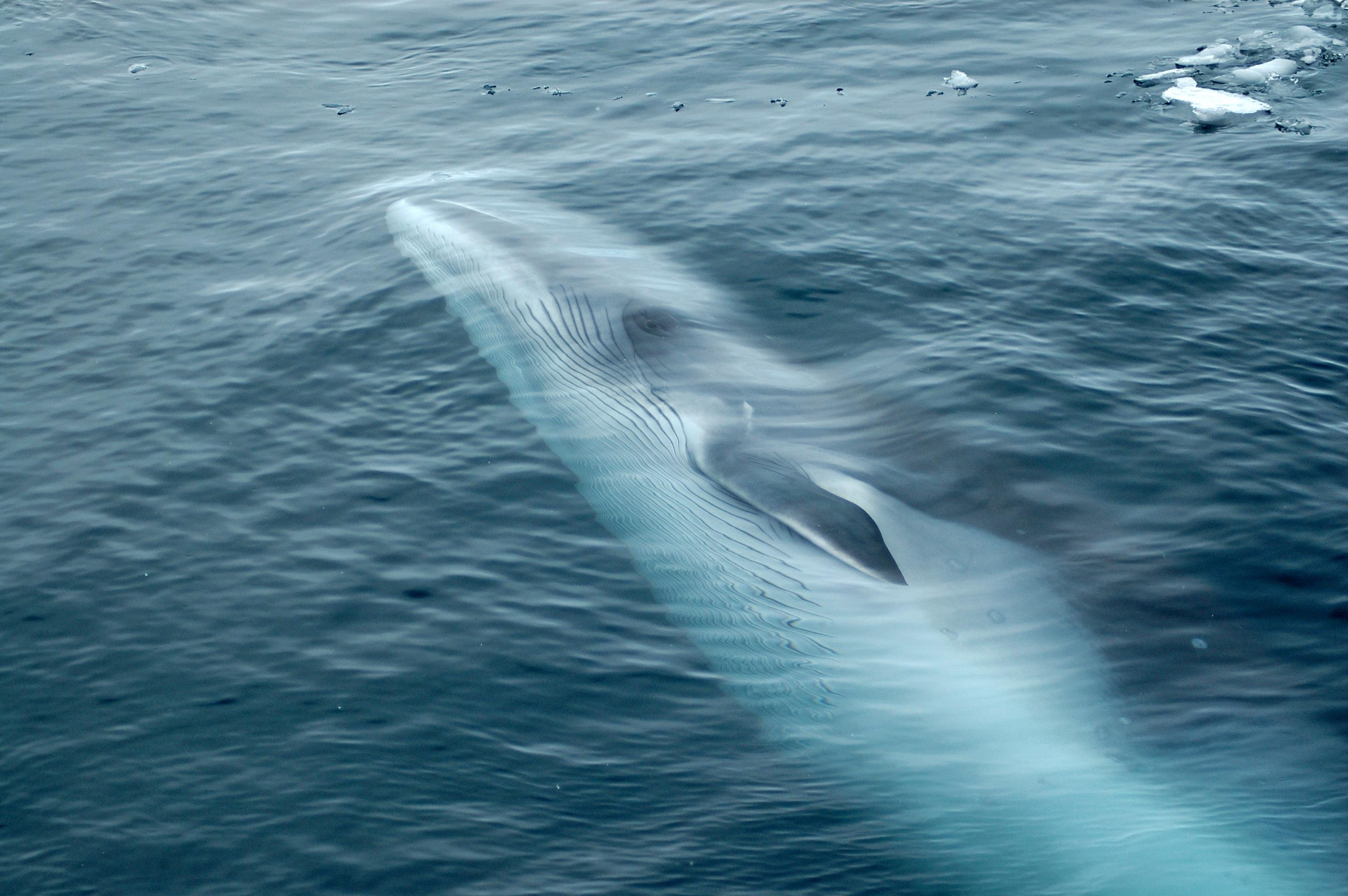 Japanese proposal to reinstate commercial whaling defeated