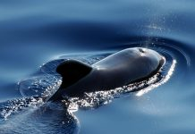 New Zealand pilot whales