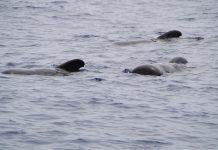 stranding - pilot whales
