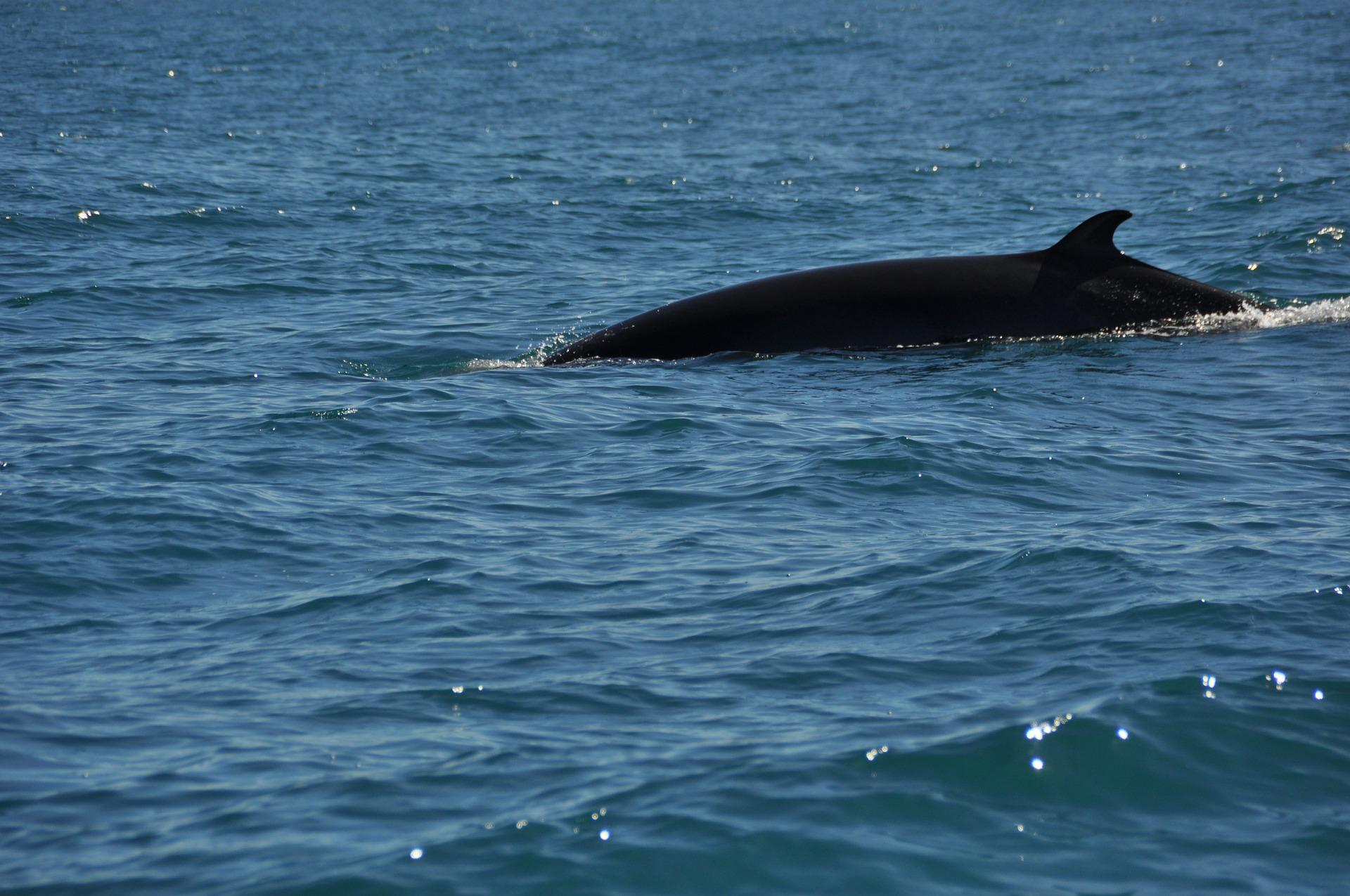 whaling - minke whale