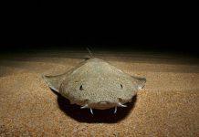 Rare Angel shark Seen Near Welsh Coast