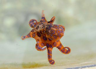 Tourist Handles Blue Ringed Octopus Oblivious to its Lethal Venom