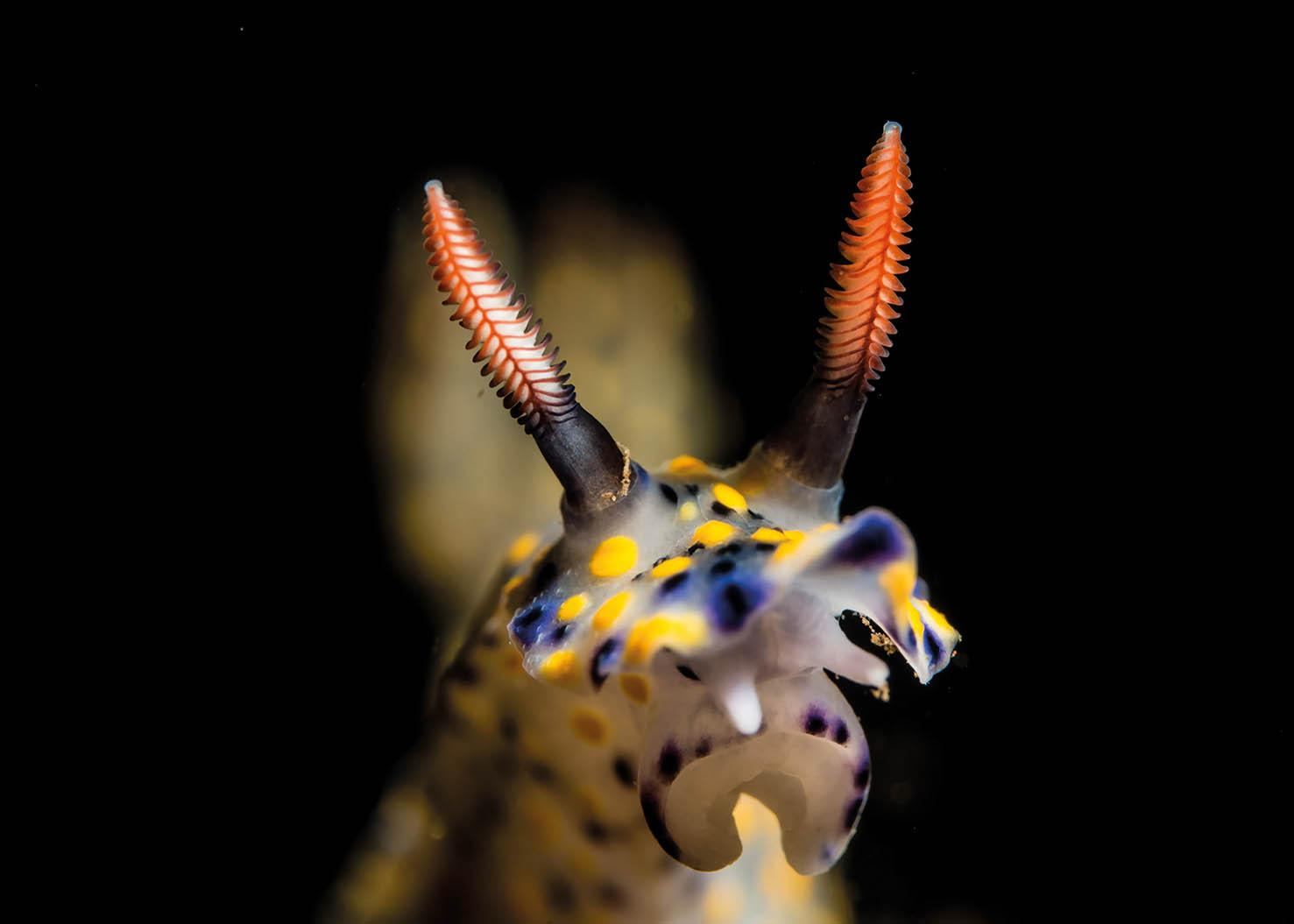 Head On Nudibranch - Photographs by Paul Duxfield