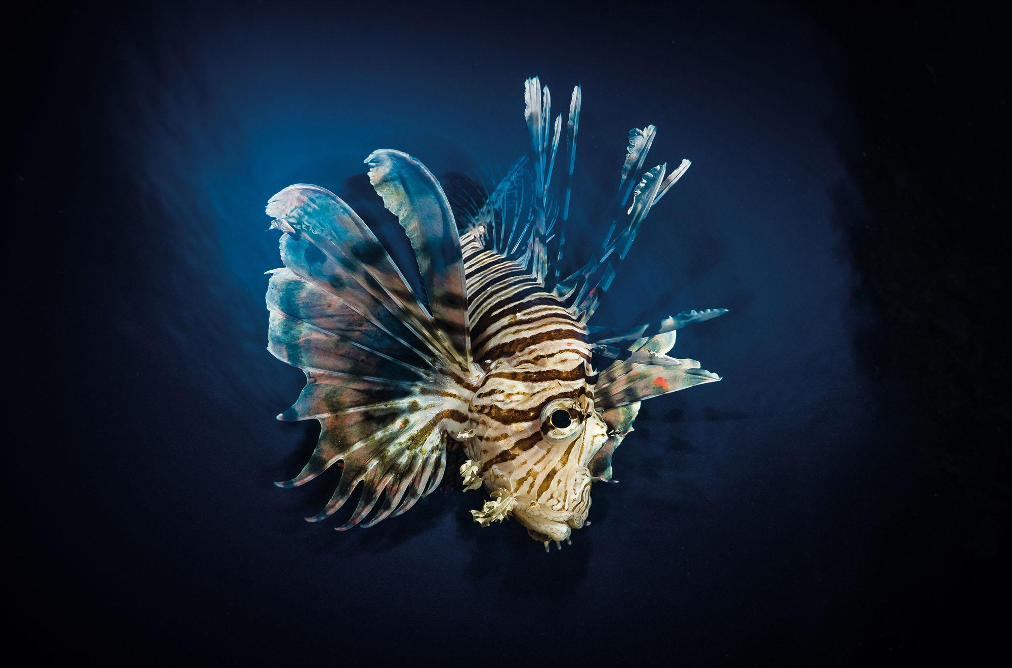 LionFish - Photographs by Paul Duxfield