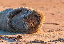 grey-seal- plastic flying ring