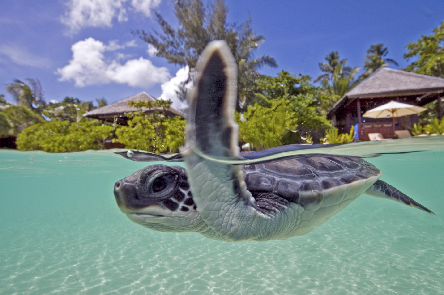 Wakatobi Resort Turtle