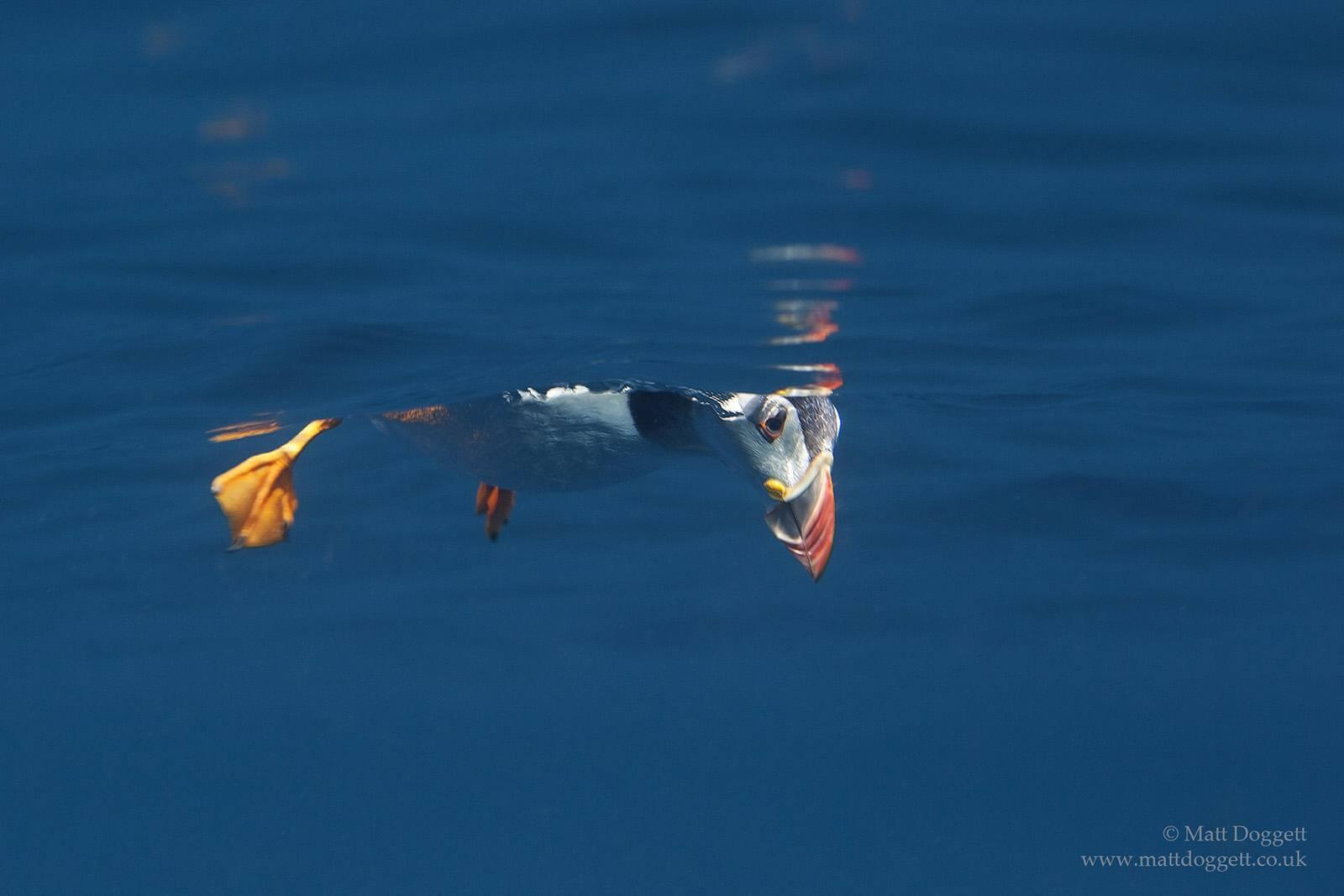 Atlantic puffin peering beneath the surface, North Rona, offshore north west Scotland