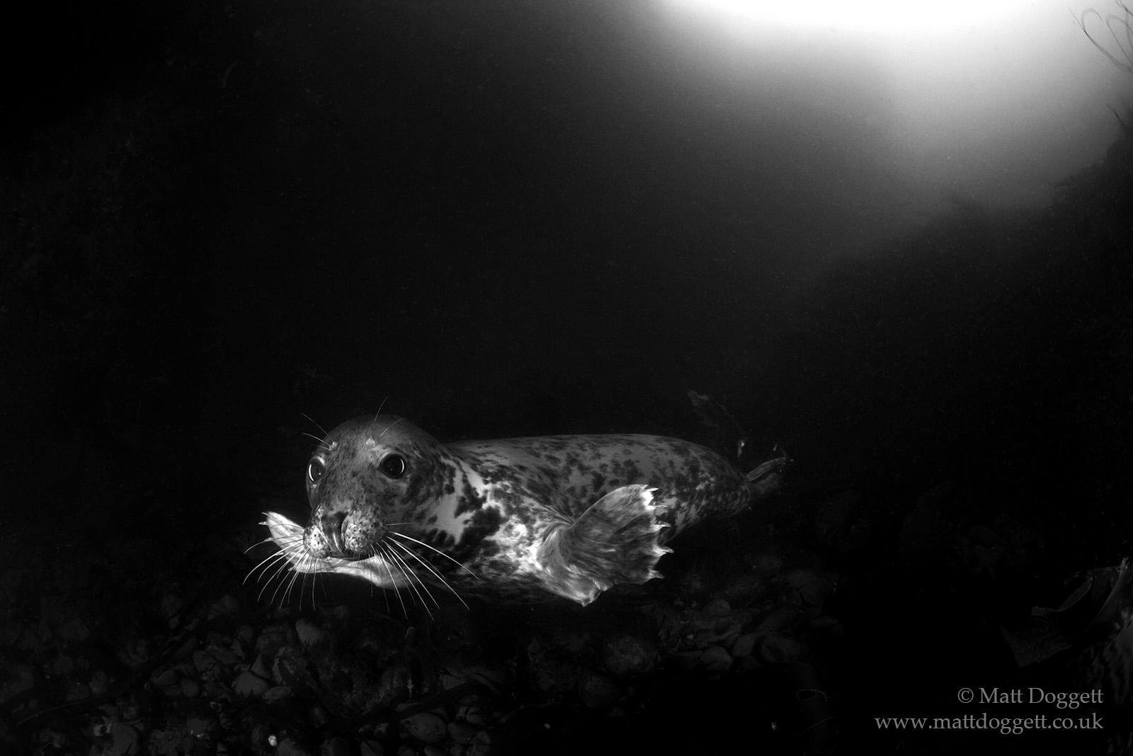 Curious grey seal, Farne Islands.