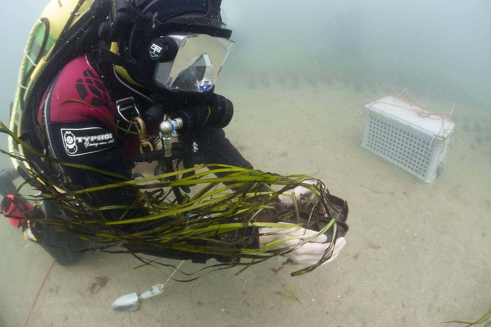 Documenting a seagrass transplanting project in Cornwall.