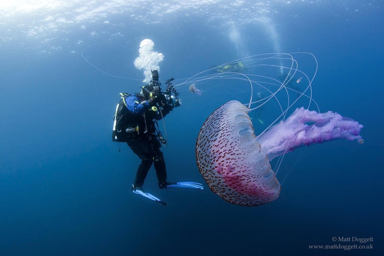 Purple stingers and Scuba diver, North Rona, offshore north west Scotland.