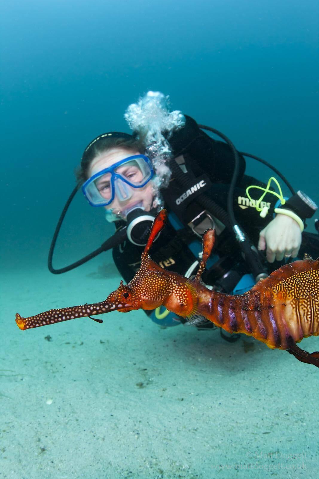 Weedy seadragon and Scuba diver, Bicheno, Tasmania.