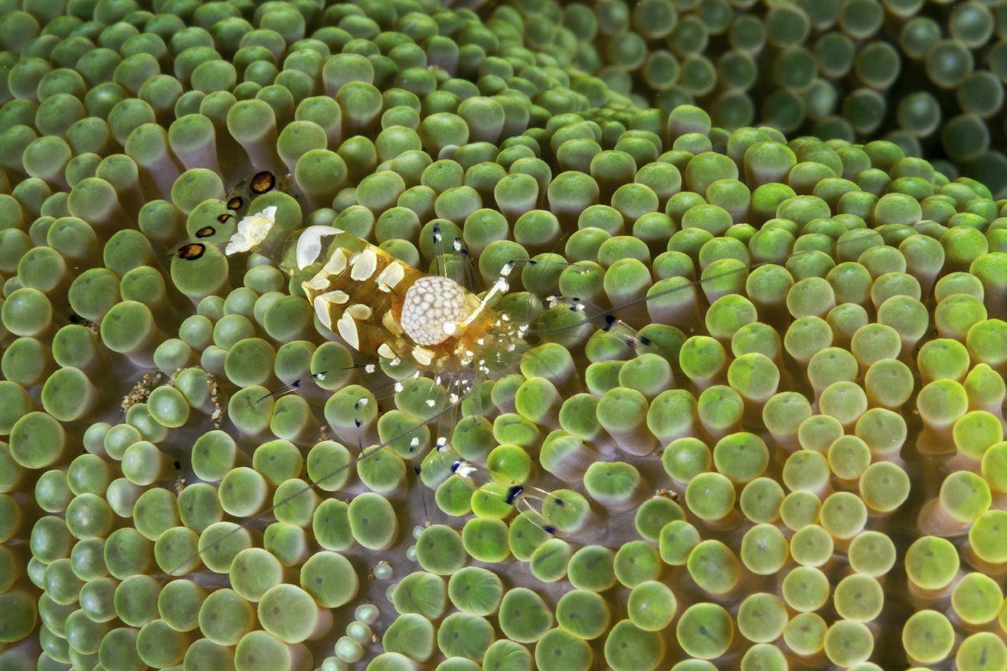 Wakatobi shrimp