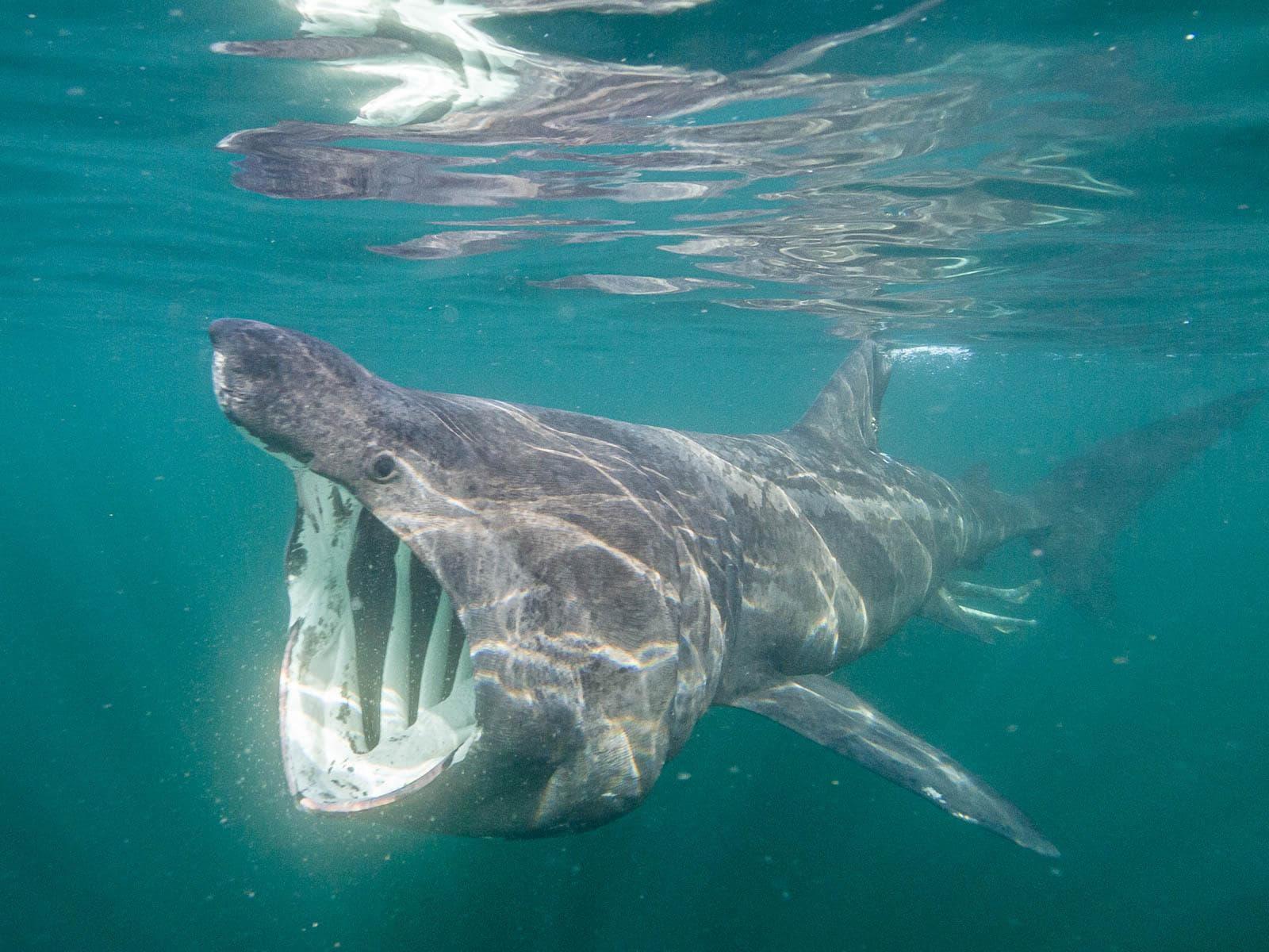 Basker Shark by Dan Bolt