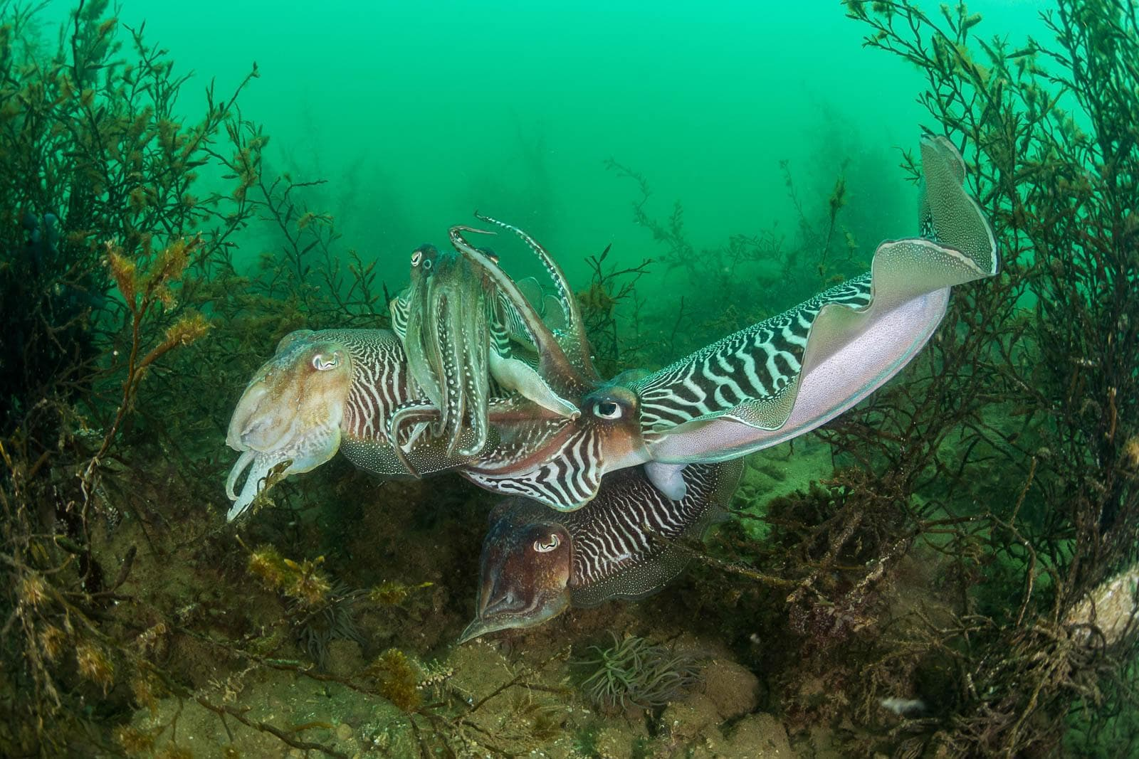 Cuttlefishes by Dan Bolt