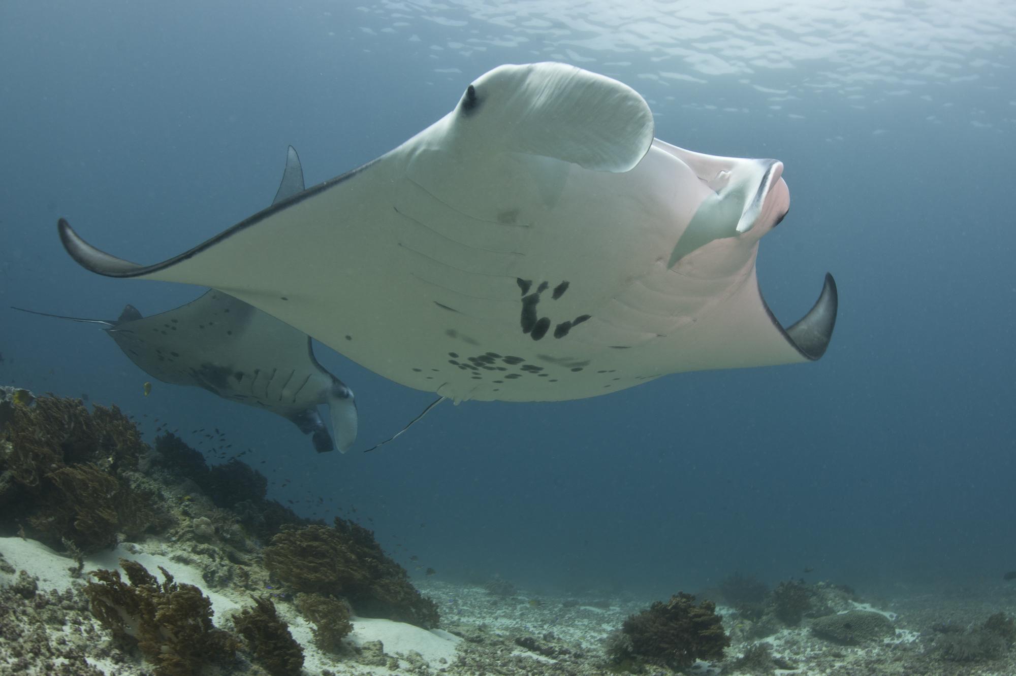 manta ray 7