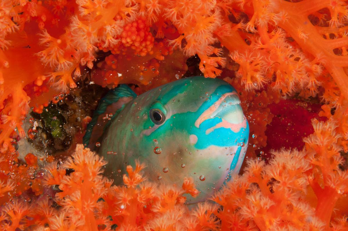 Parrotfish. The marine life is colourful and abundant at Wakatobi. Copyright Erik Schlogl