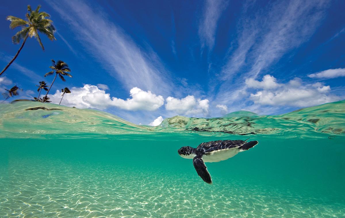 Wakatobi turtle