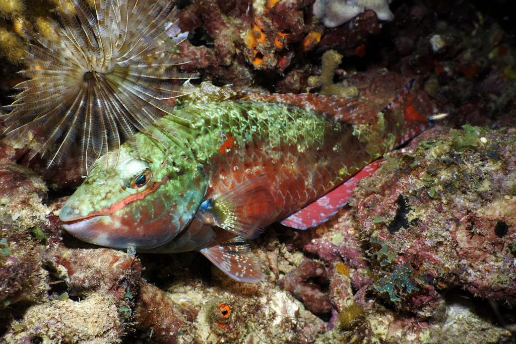 rich colours in the sleepy parrotfish dozing on the reef