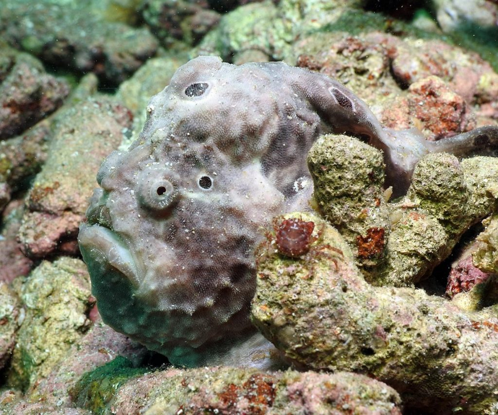 a great shot of a frogfish, complete with a little crab in the foreground