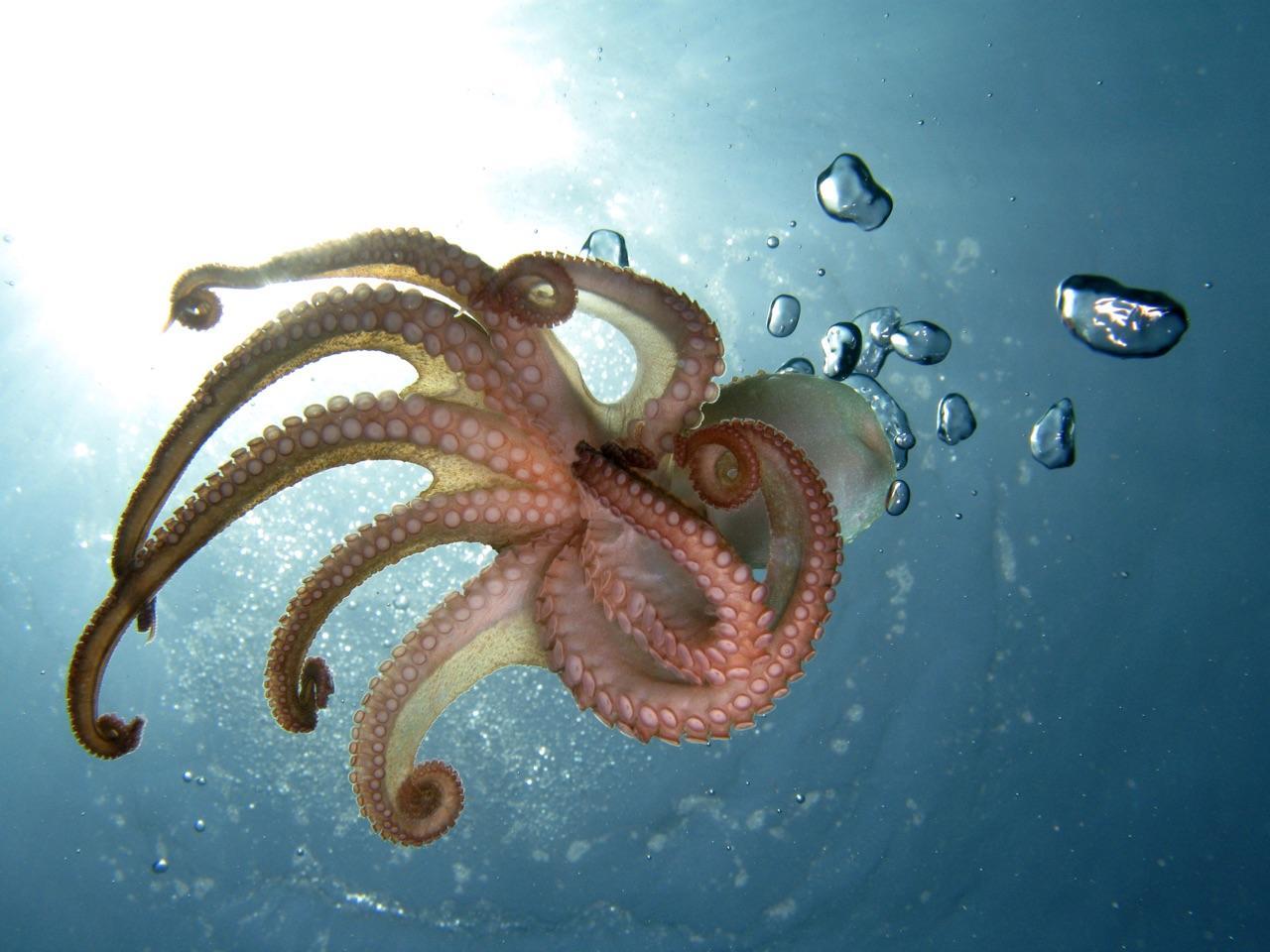 octopus bite
