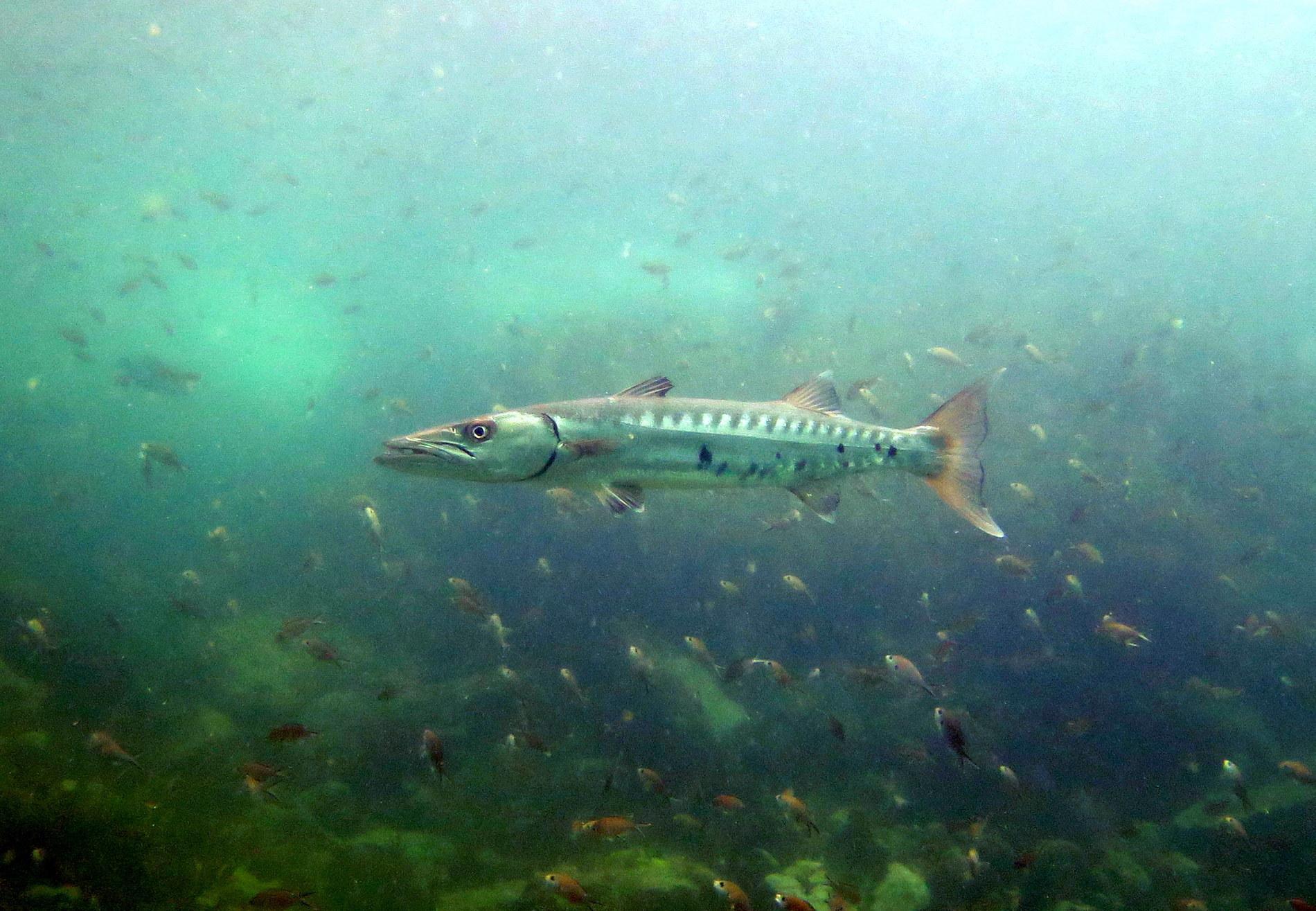 atmospheric shot of a barracuda