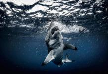 Guadalupe great white shark