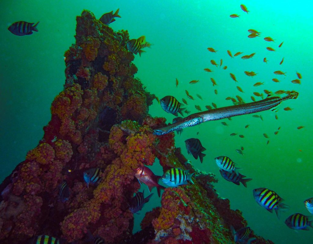 image of a trumpetfish and sergeant majors around a point of coral