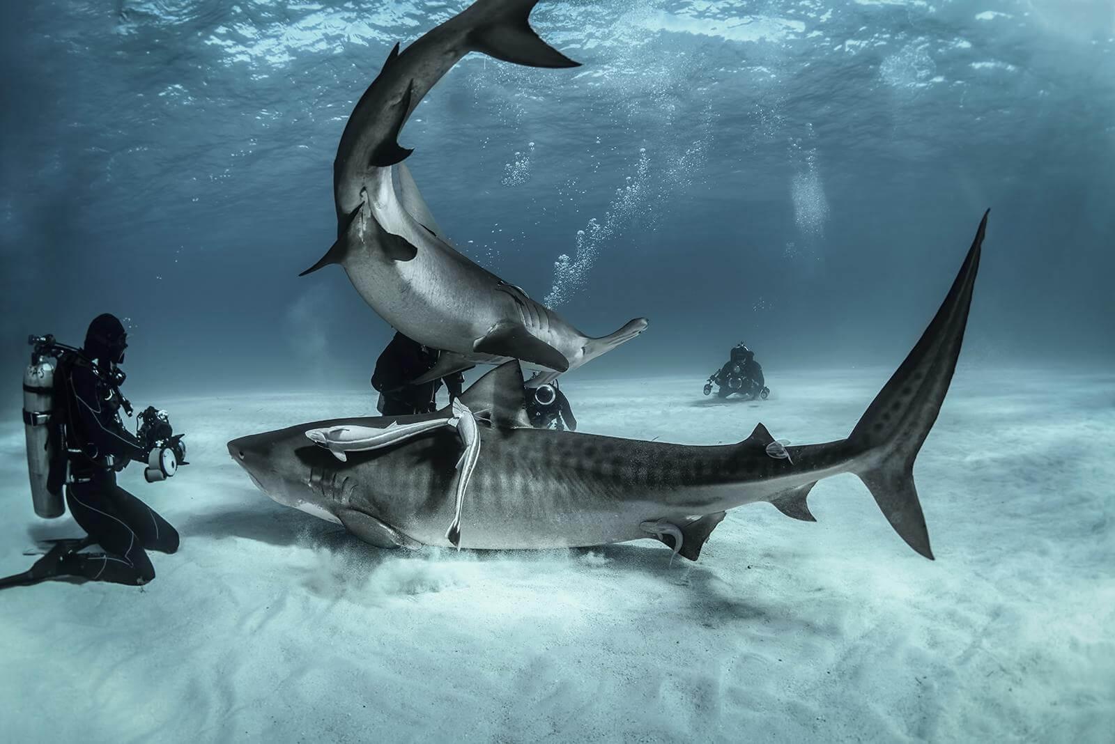 Sharks at Tiger beach