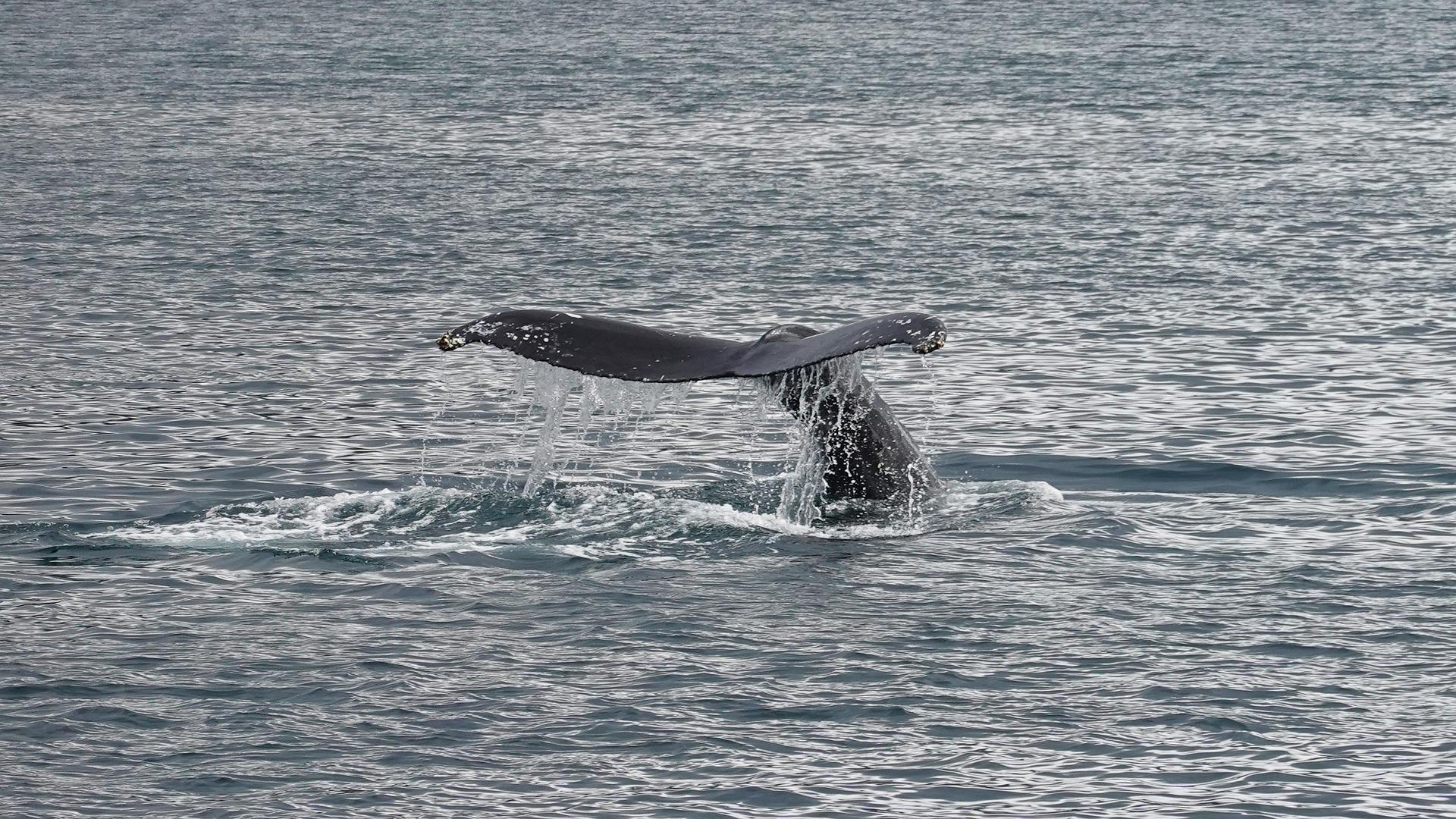 humpback whale in River Thames