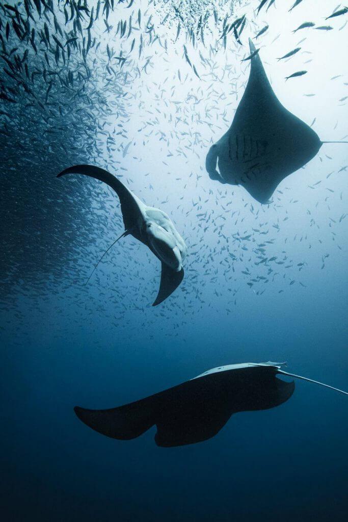 Manta rays at palau coral reefs by Simon Lorenz