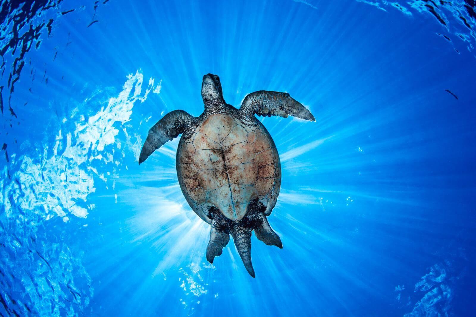 Sea Turtle at Sipadan Island