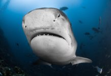 Tiger Shark at Fiji Island