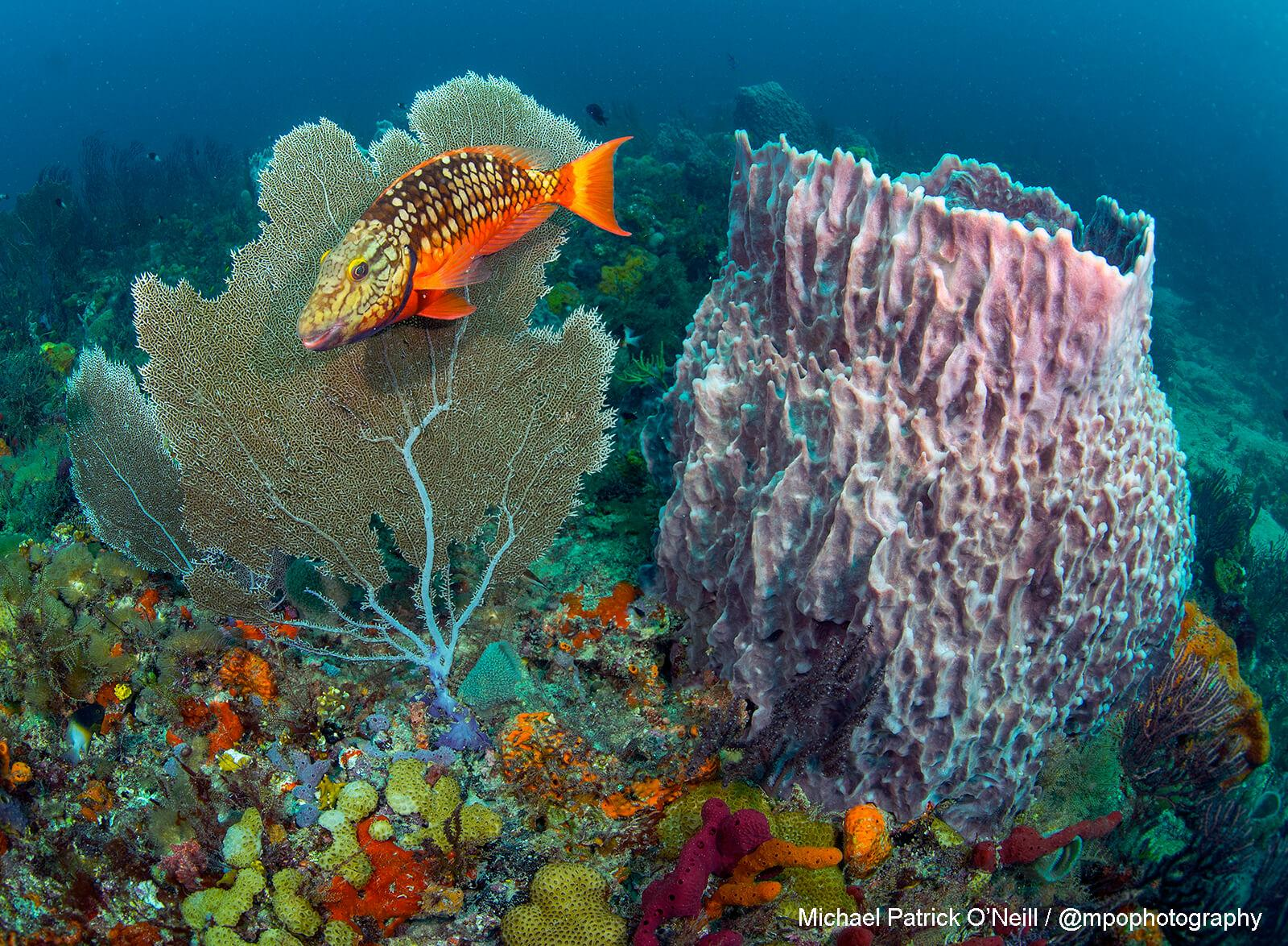Coral Reef Florida. Underwater Photography by Michael Patrick-O'Neill