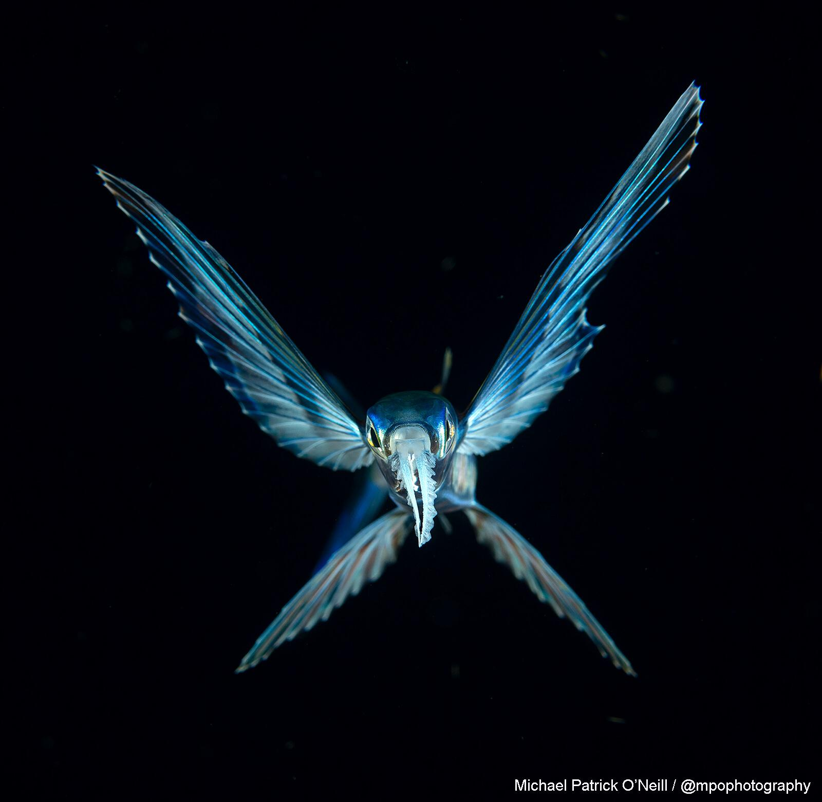 Flying Fish Florida Blackwater. Underwater Photography by Michael-Patrick-O'Neill