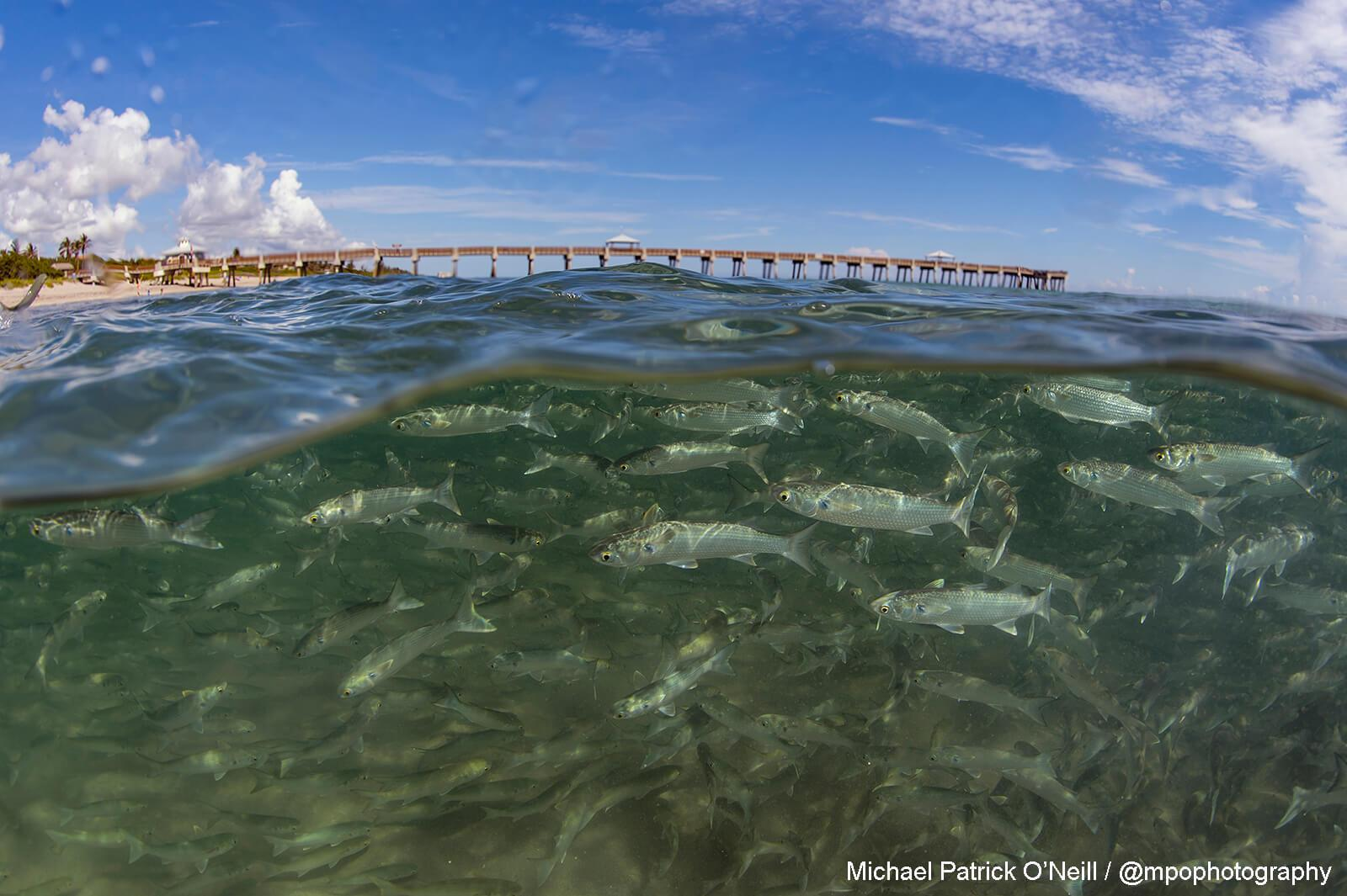 Mullet Migration. Underwater Photography by Michael Patrick O'Neill