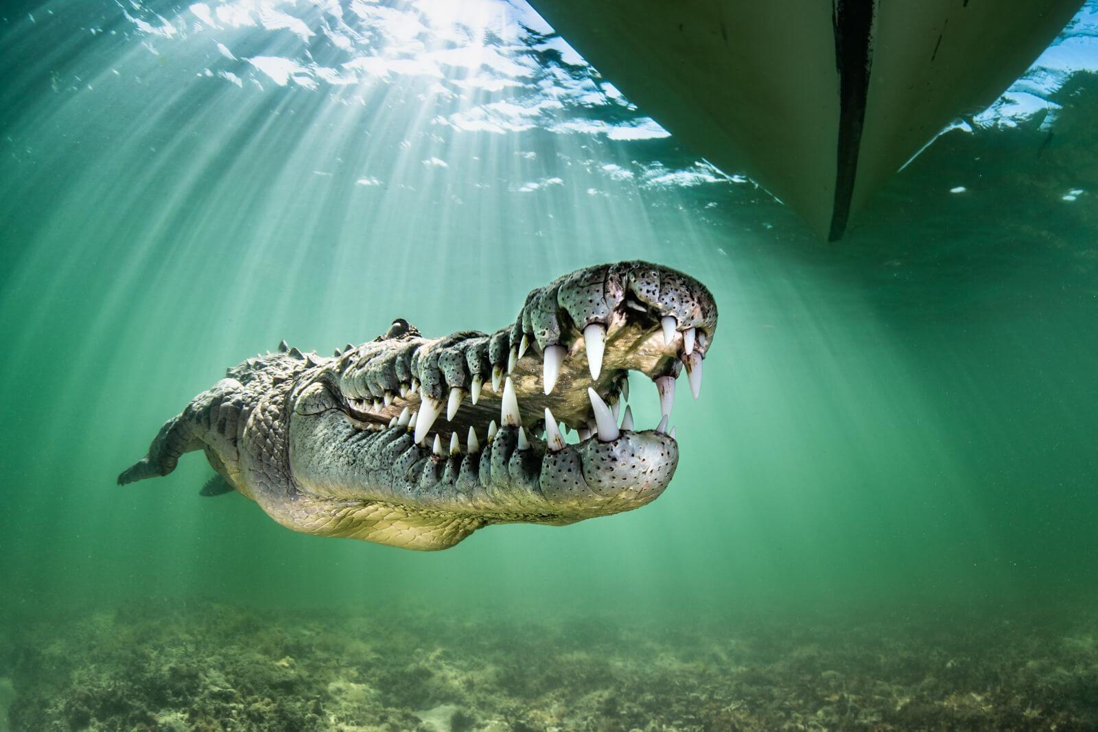 Ron Watkins underwater photography, crocodile, Cuba