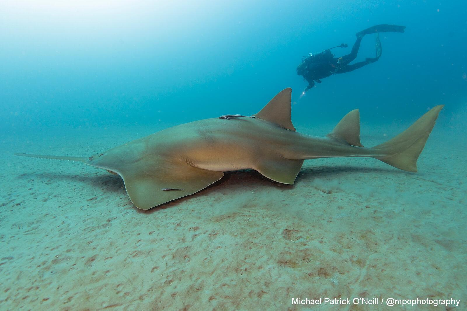 Sawfish, Florida. Underwater Photography by Michael Patrick O'Neill
