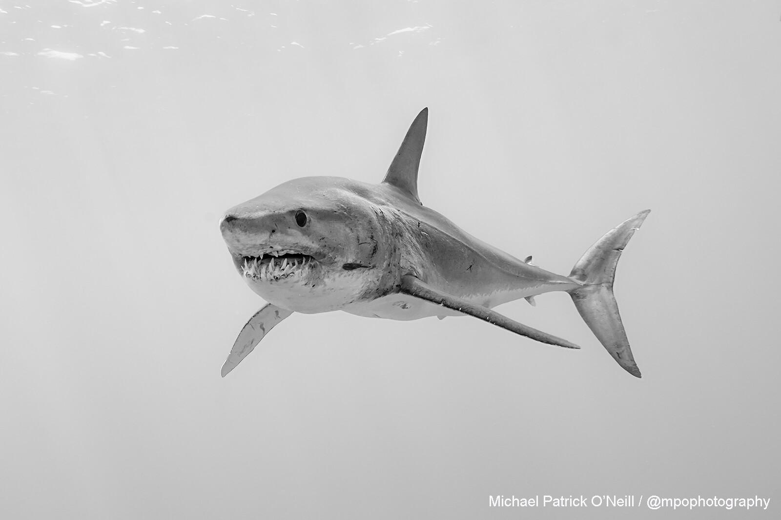 Short fin Mako Shark, Azores. Underwater photography by Michael Patrick O'Neill