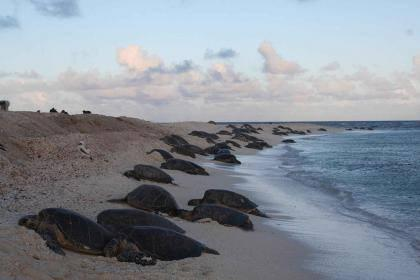 Endangered Green Sea Turtles Killed by Red Tide in Mexico.