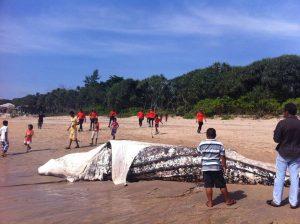 Dead Whale Shark on a beach in Thailand