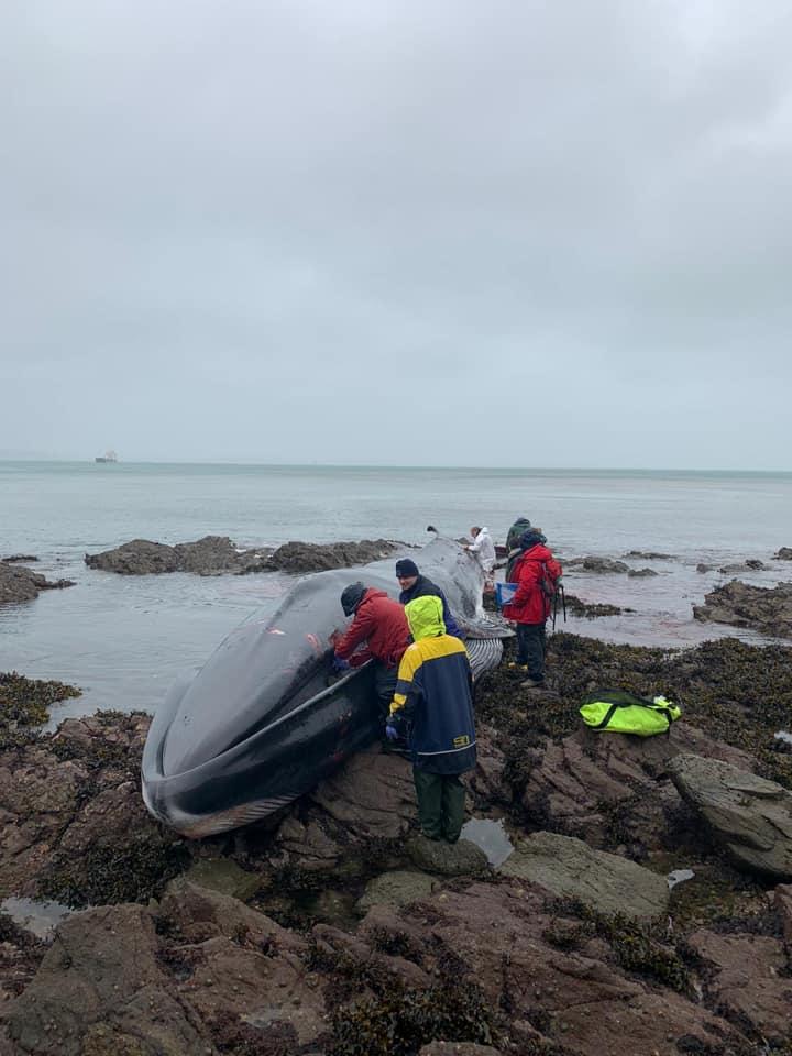 fin whale stranded off Cornish coastline