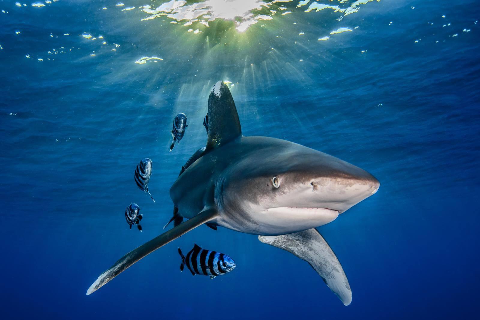 Oceanic white tip shark by Rafael Fernández Caballero