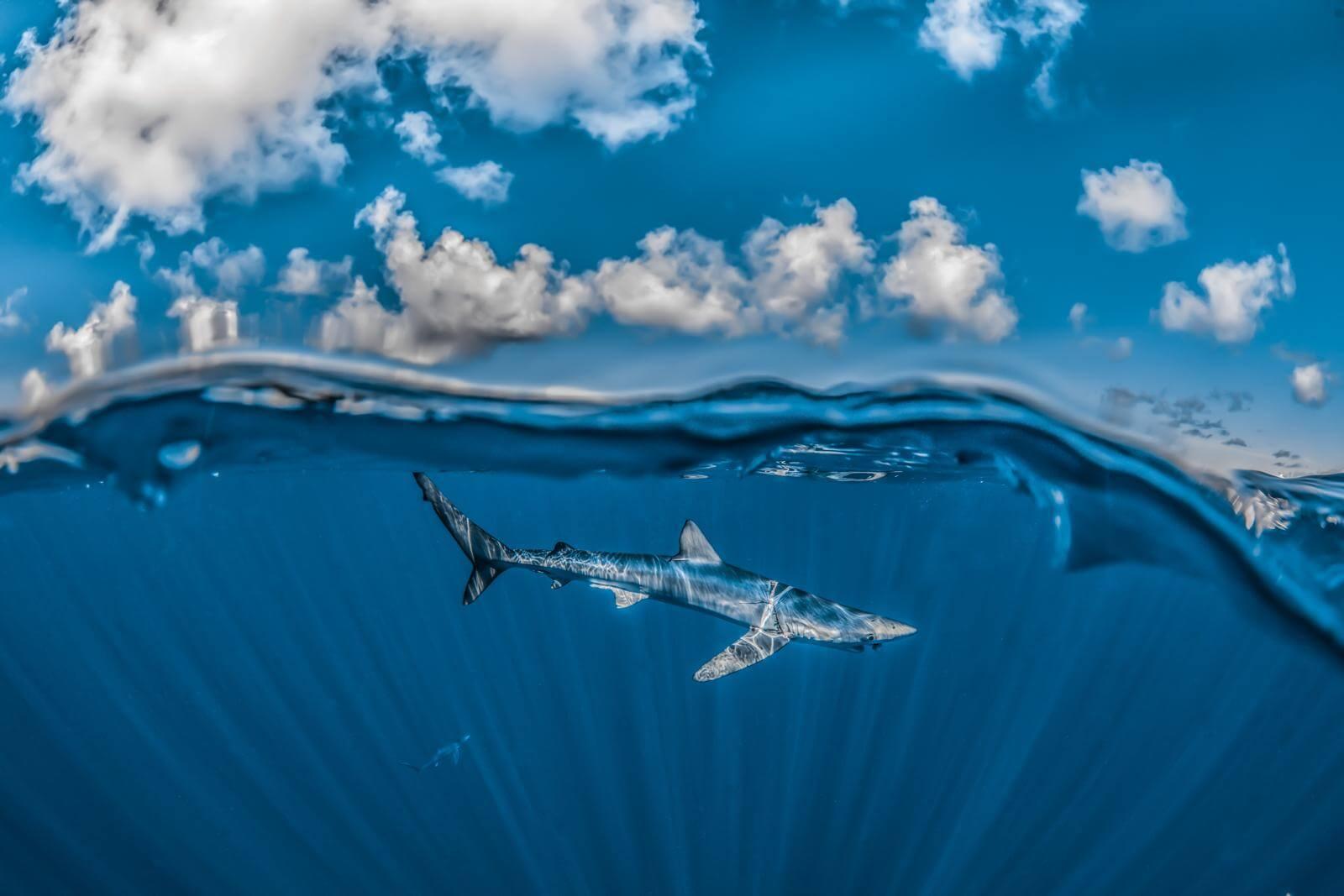 Blue Shark by Rafael Fernández Caballero