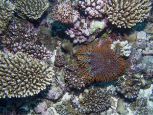 Crown of Thorns on Hard Coral